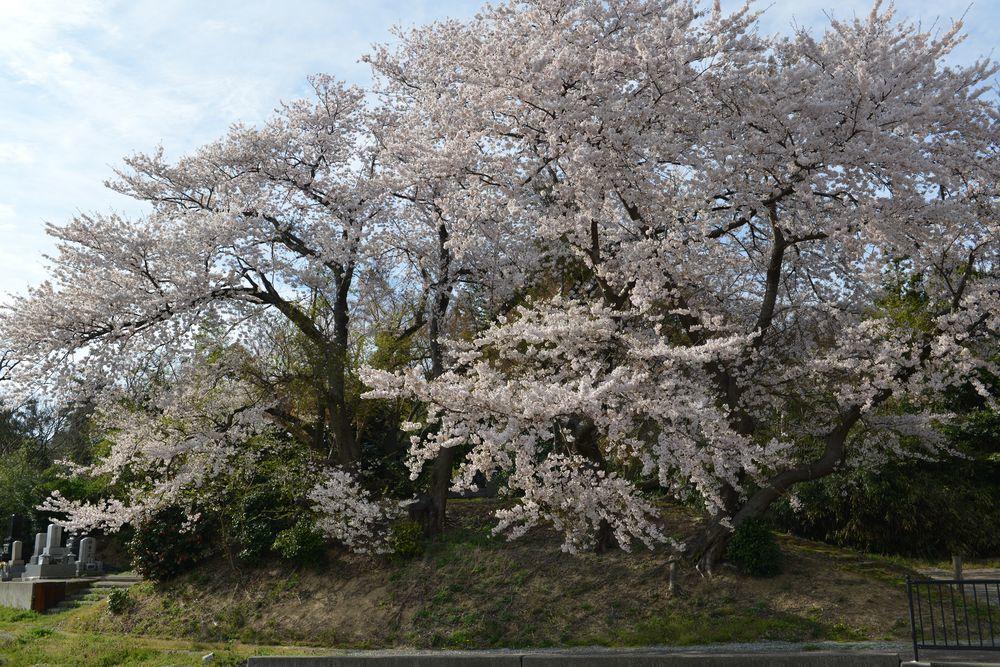 矢作の桜-2