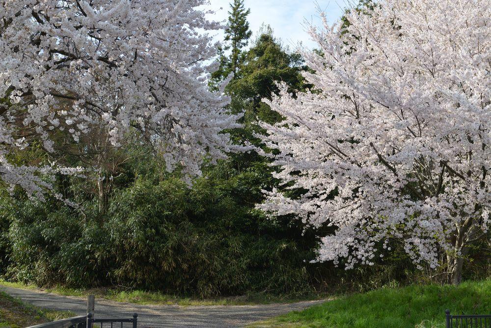矢作の桜-3