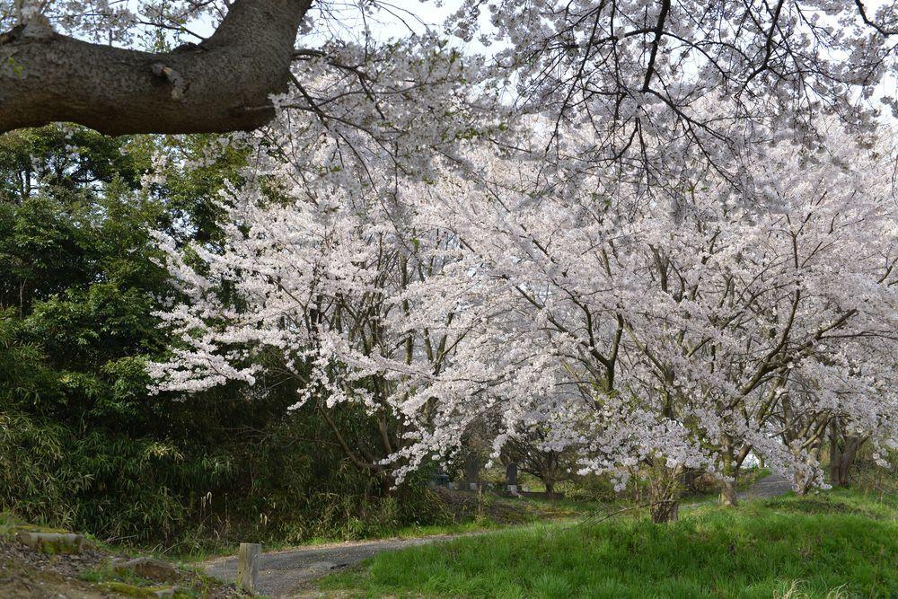 矢作の桜-4