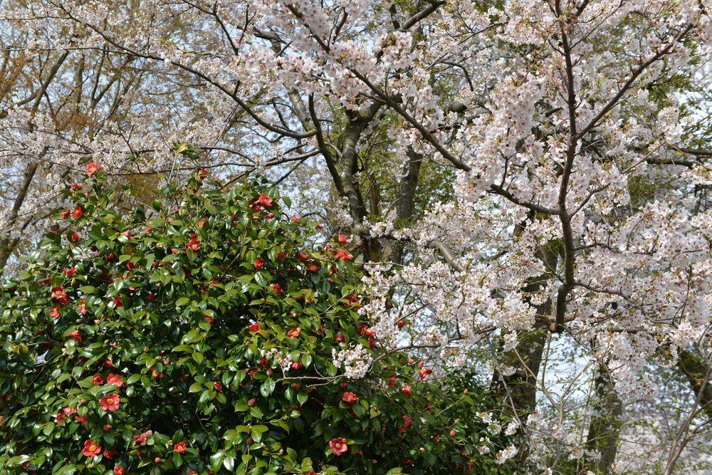 矢作の桜-5