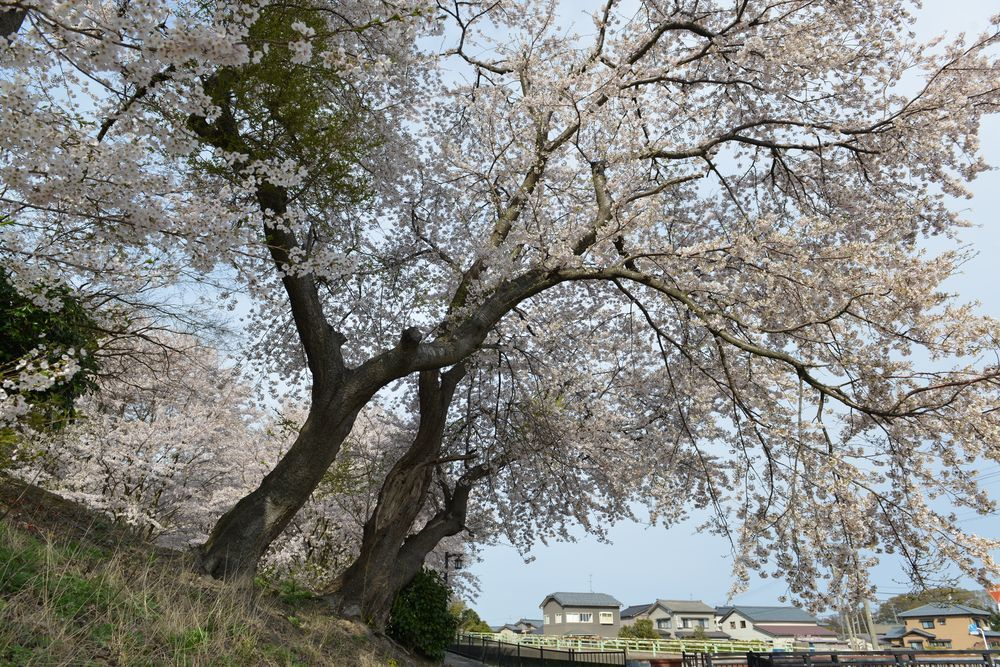 矢作の桜-6