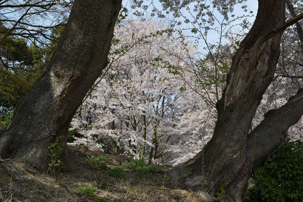 矢作の桜-7