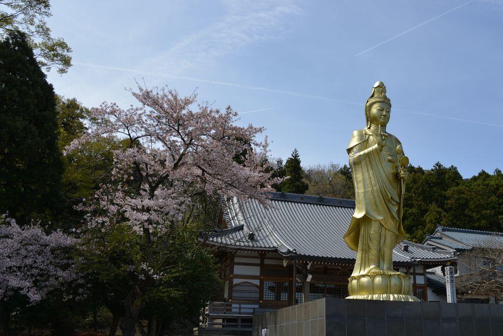 観音寺の桜-1