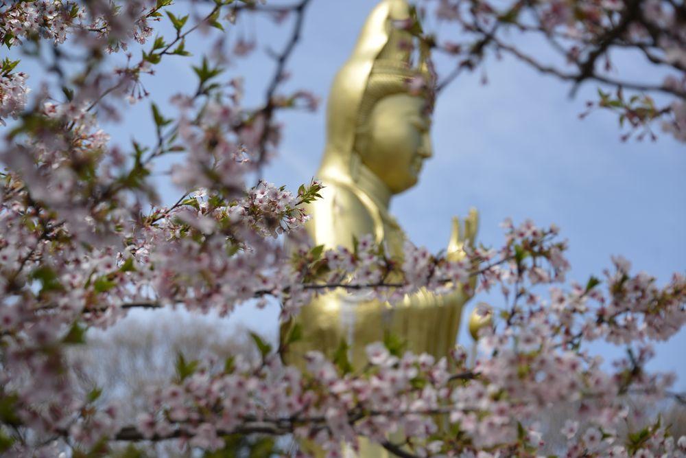 観音寺の桜-3
