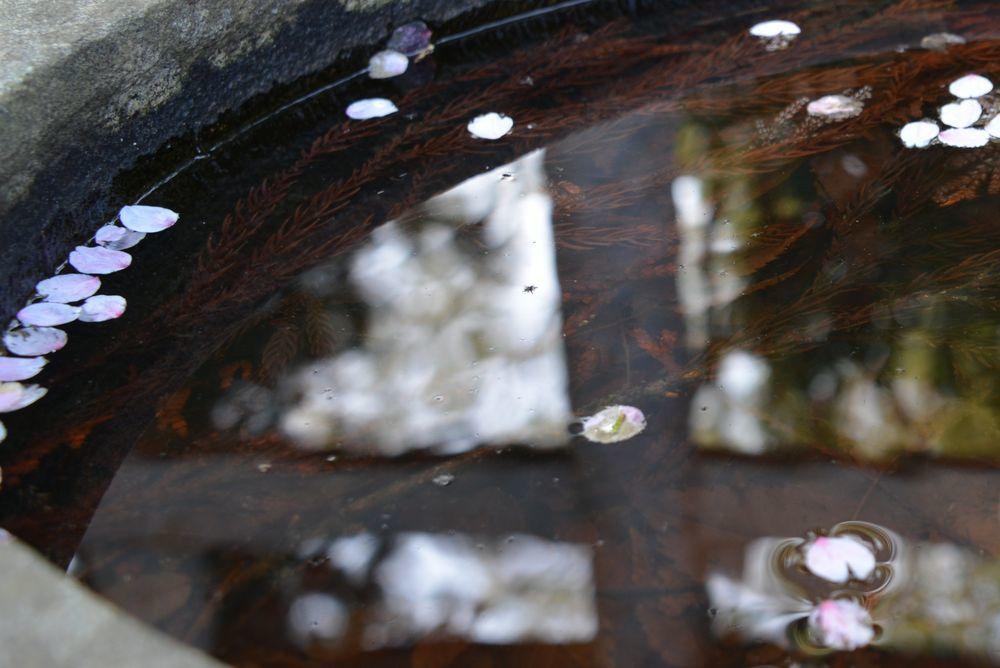 観音寺の桜-7
