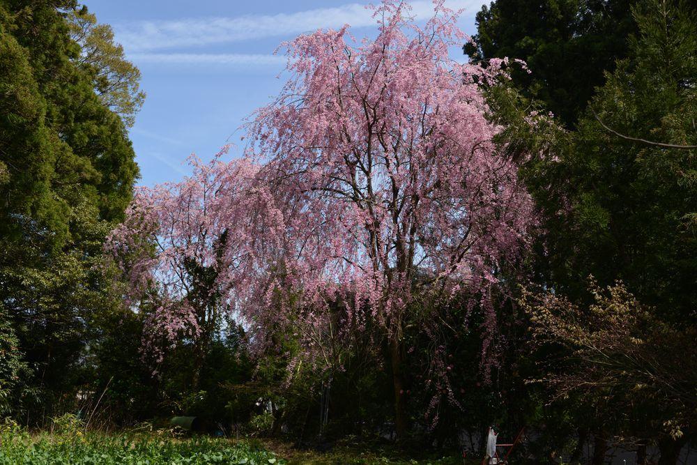 観音寺の桜-6
