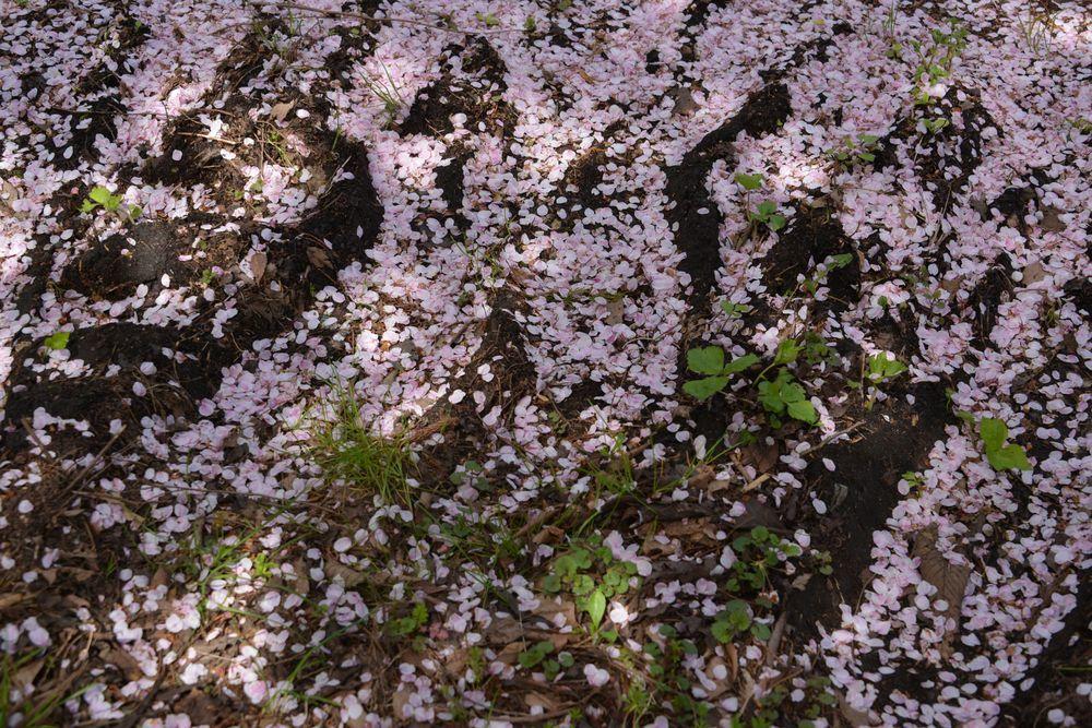 観音寺の桜-8