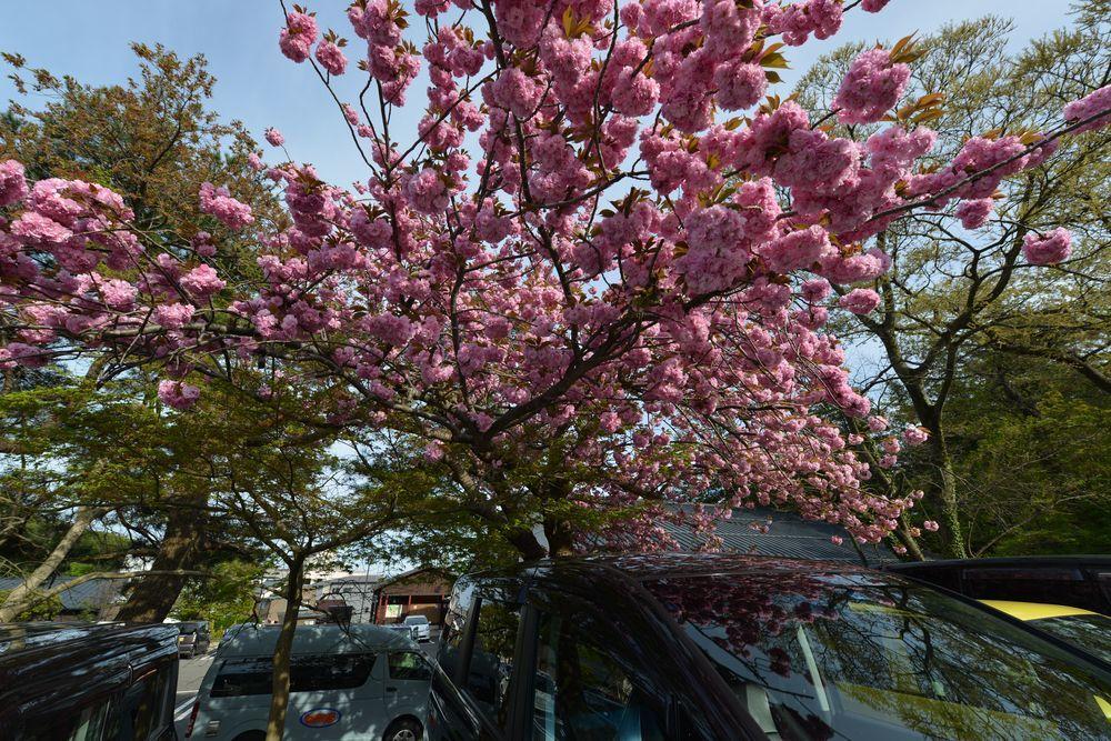 八重桜-4