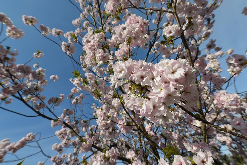 八重桜-6
