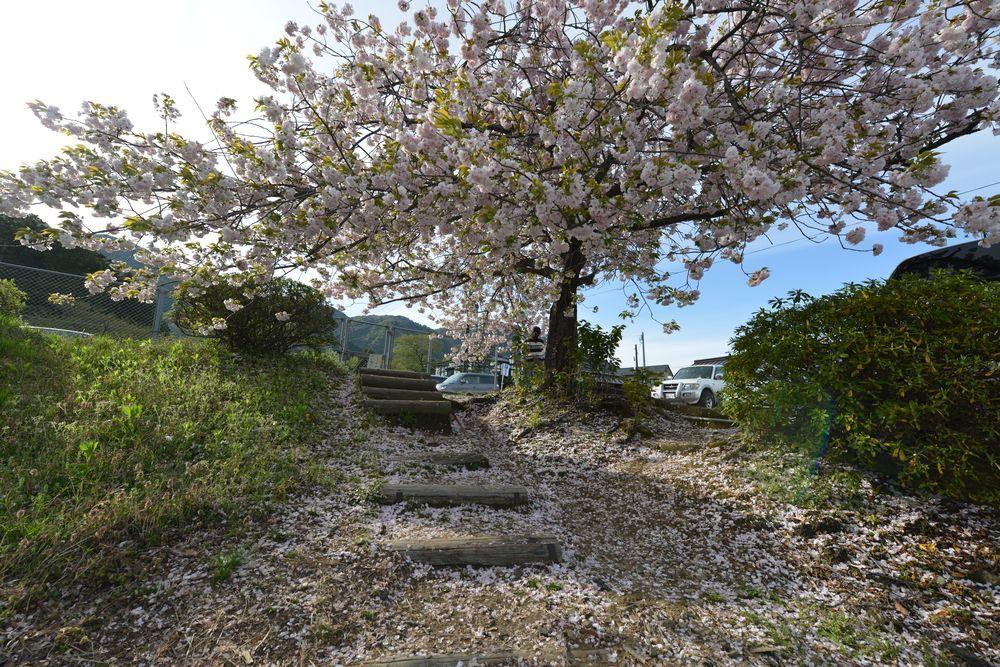 八重桜-7