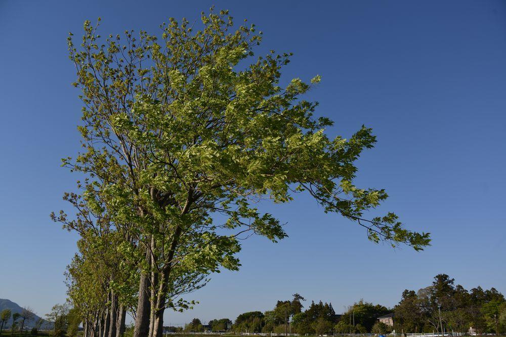新緑の稲架木-1
