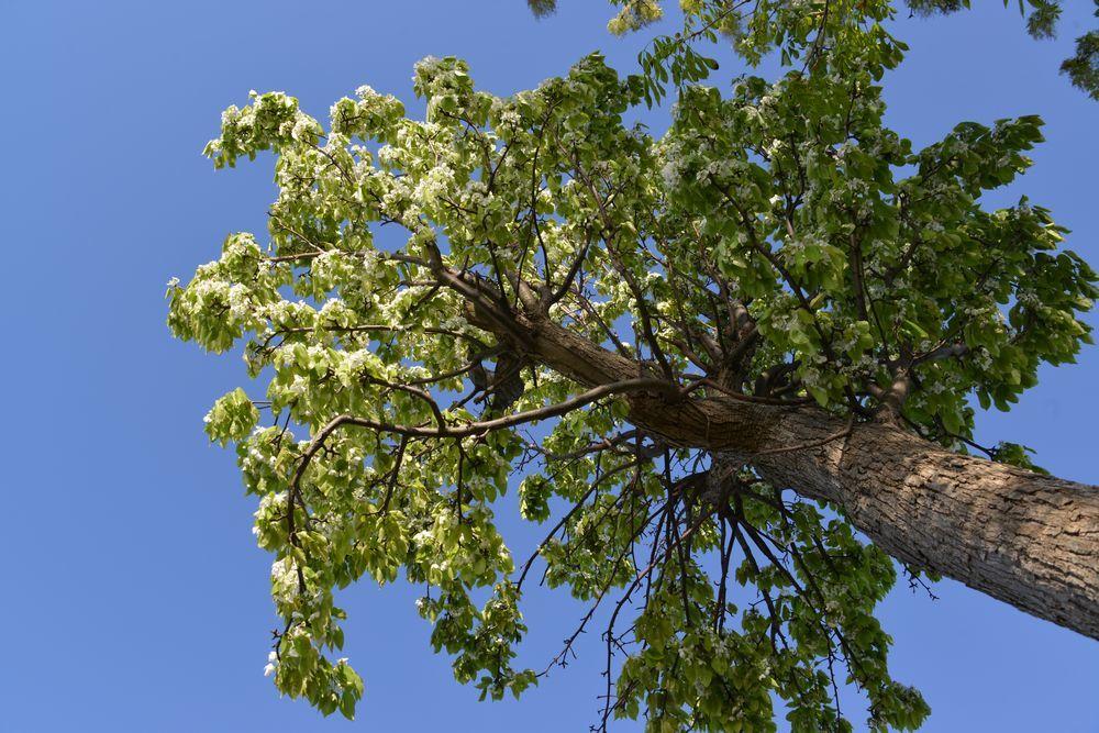 新緑の稲架木-2