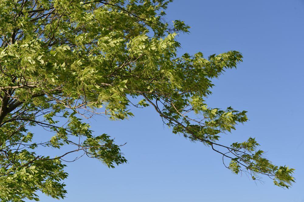 新緑の稲架木-3