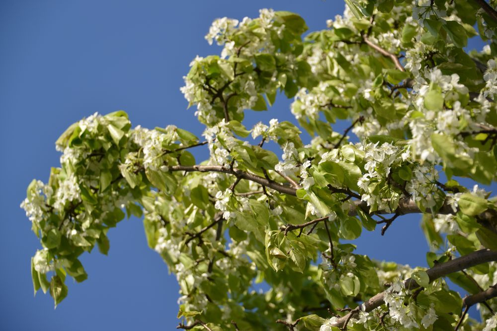 新緑の稲架木-4