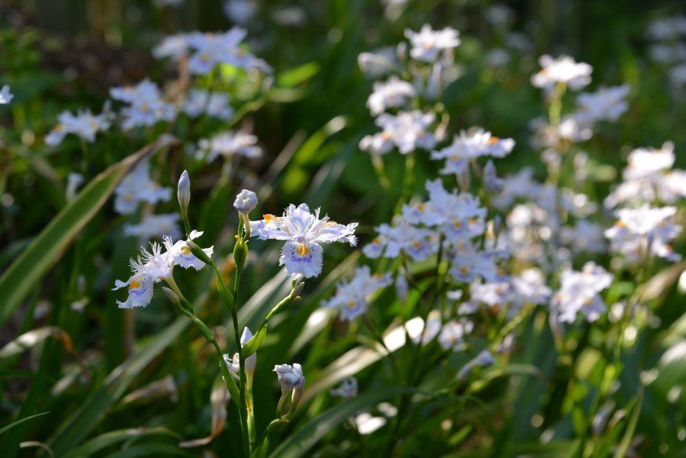 西生寺 春の花-4
