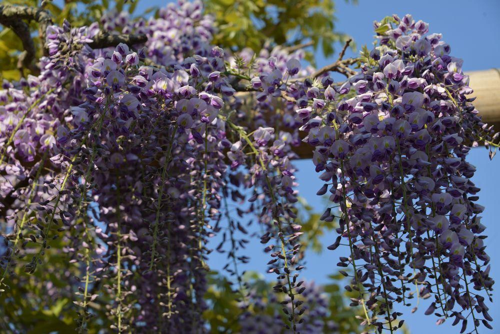 弥彦の春の花たち-2