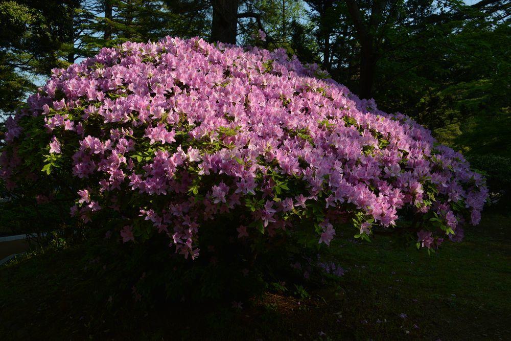 弥彦の春の花たち-3