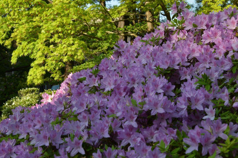 弥彦の春の花たち-4
