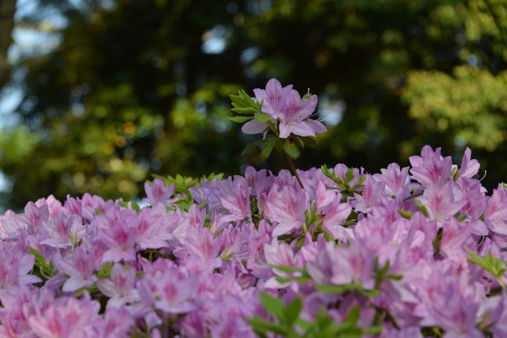 弥彦の春の花たち-5