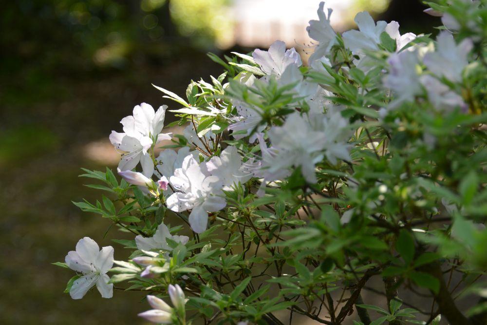 弥彦の春の花たち-6