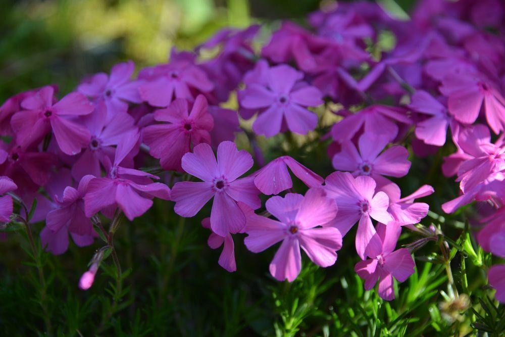 弥彦の春の花たち-7