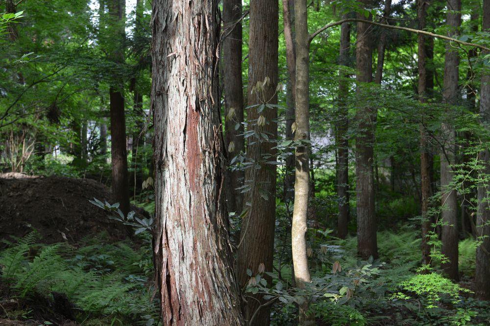 婆々杉近く-1