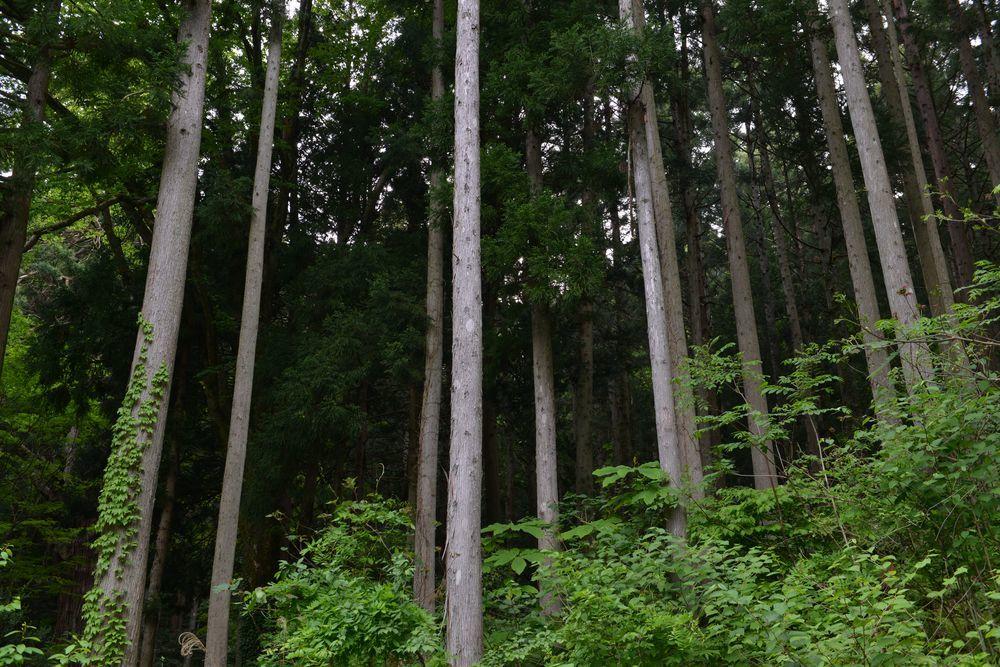 婆々杉近く―4