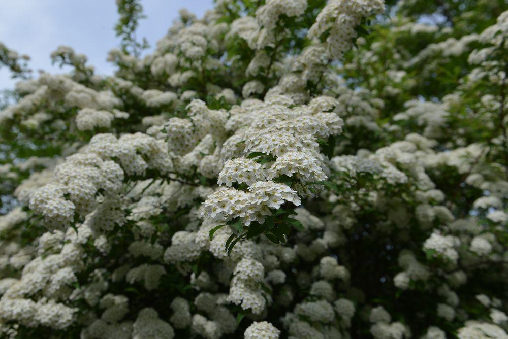 白い花たち-1