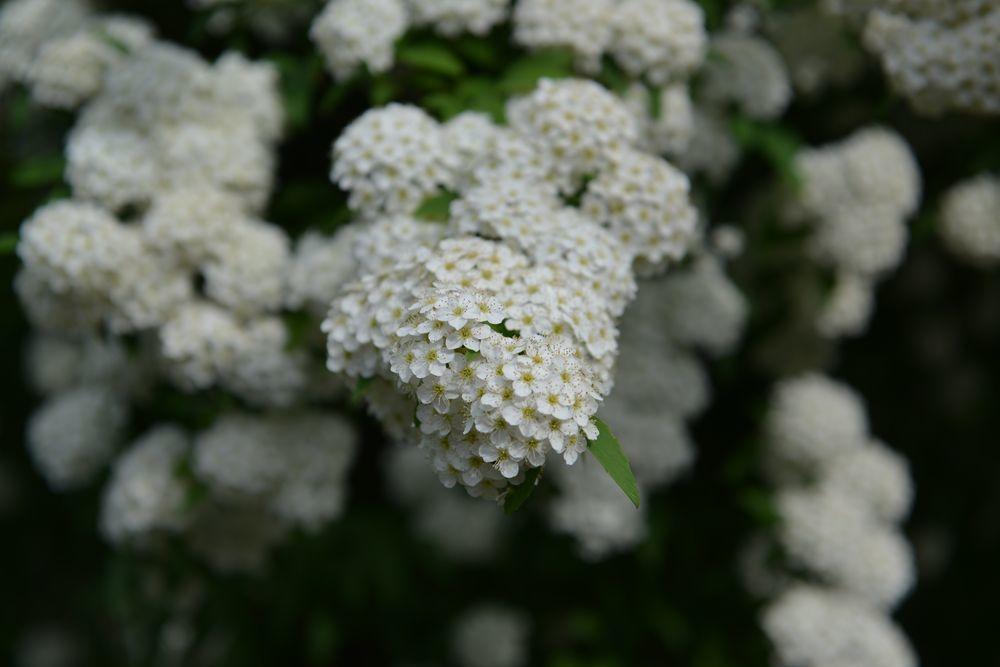 白い花たち-3