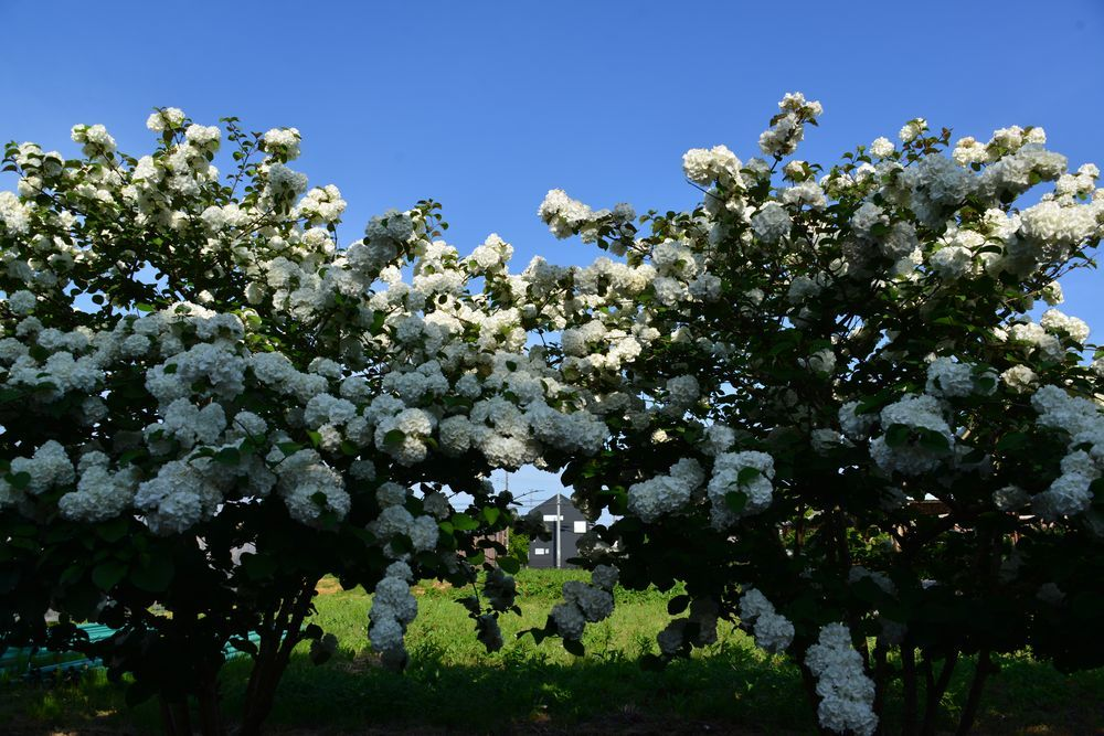 白い花たち-6