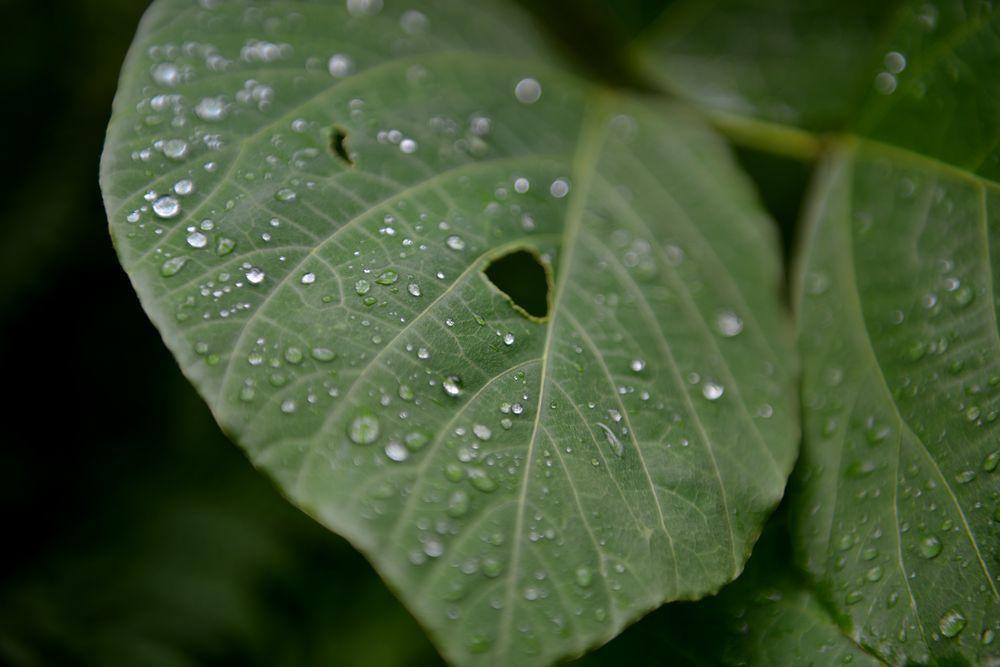 葉っぱの水滴-2