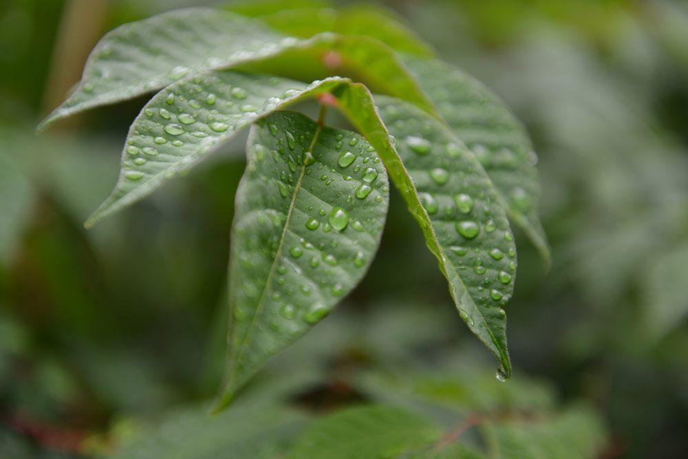 葉っぱの水滴-4