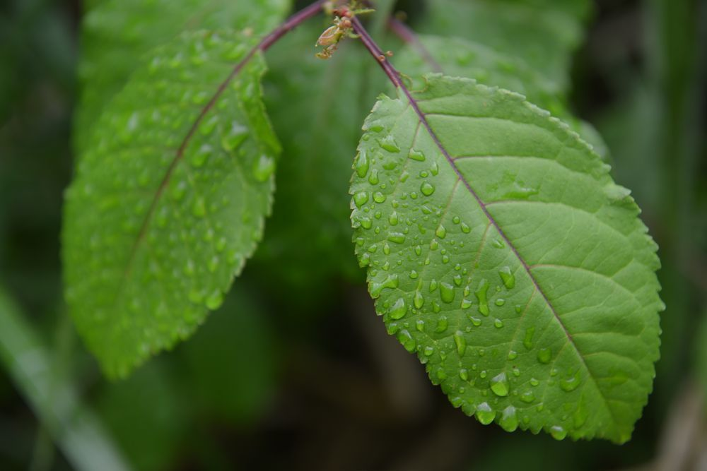 葉っぱの水滴-6