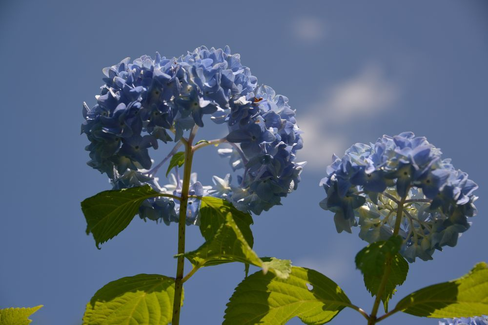 晴れの紫陽花-3