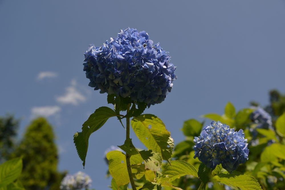 晴れの紫陽花-5