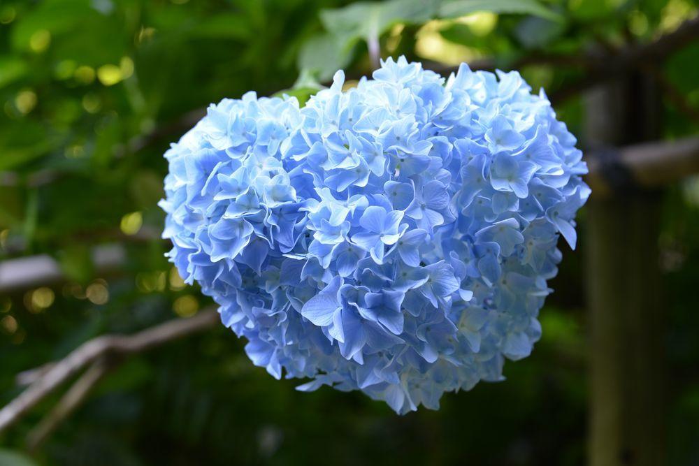 晴れの紫陽花-6