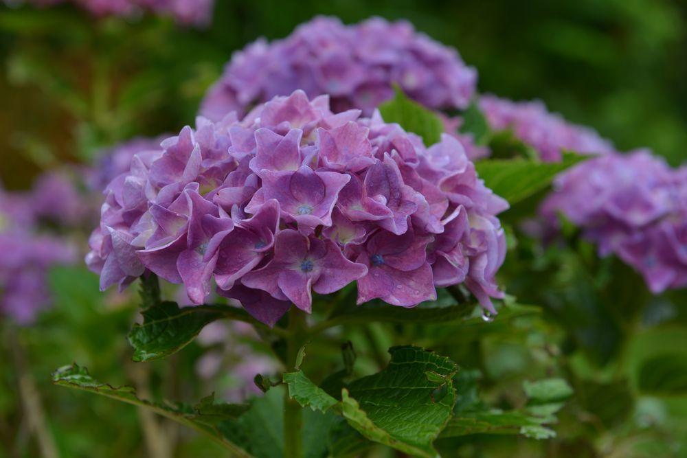 紫陽花-5