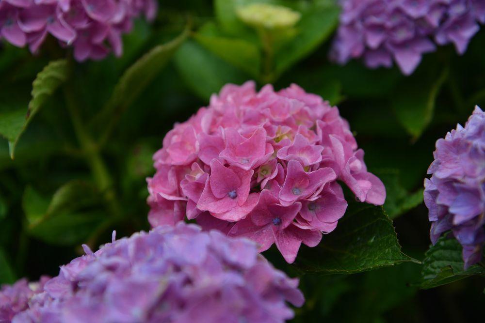 紫陽花-4