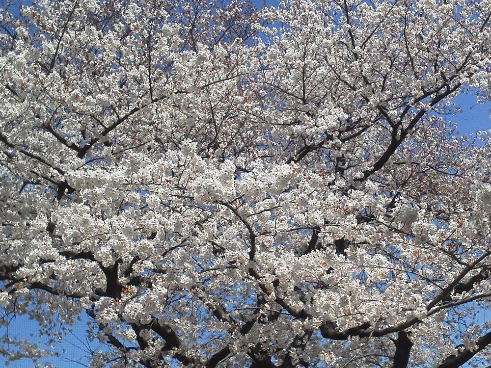 F1000106北朝霞公園4月4日