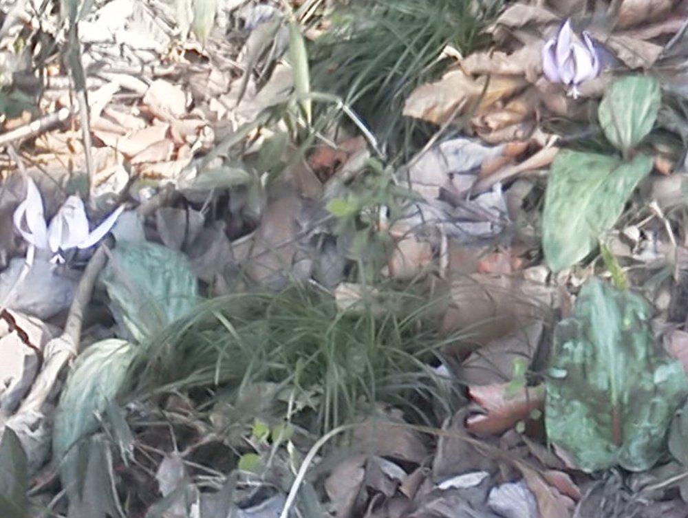 F1000101城山公園4月4日カタクリ 1枚葉と2枚葉