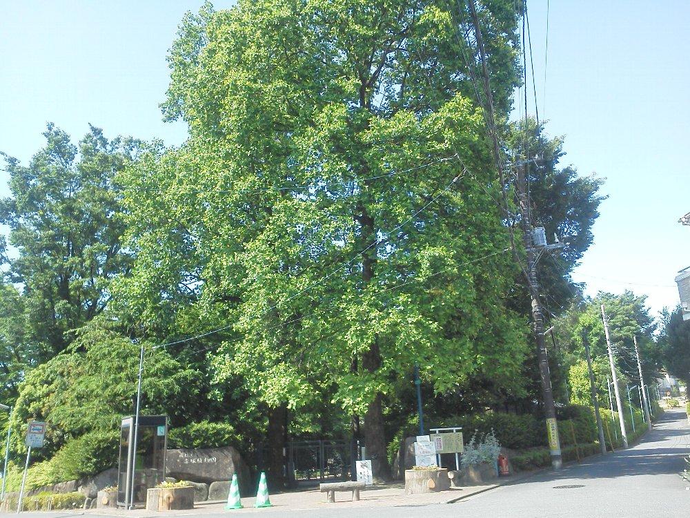 F1000410赤塚植物園5月23日ユリノキ