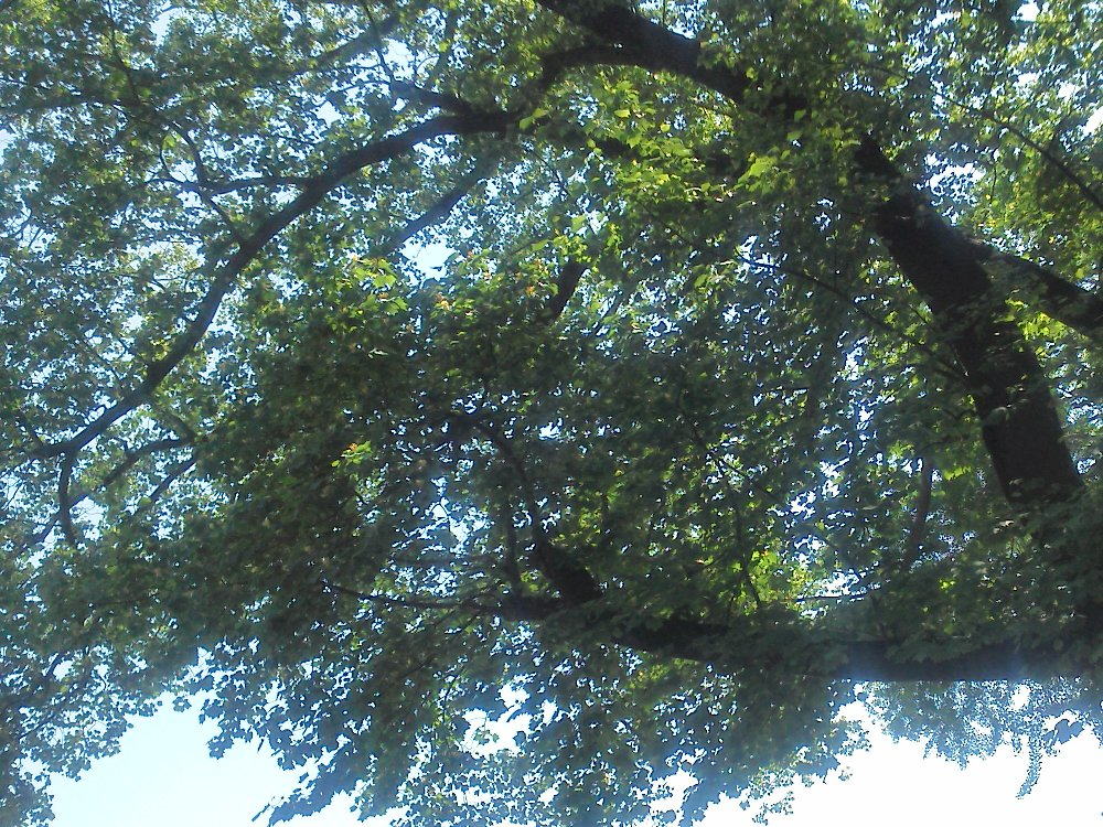F1000447新宿御苑5月24日満開のユリノキ