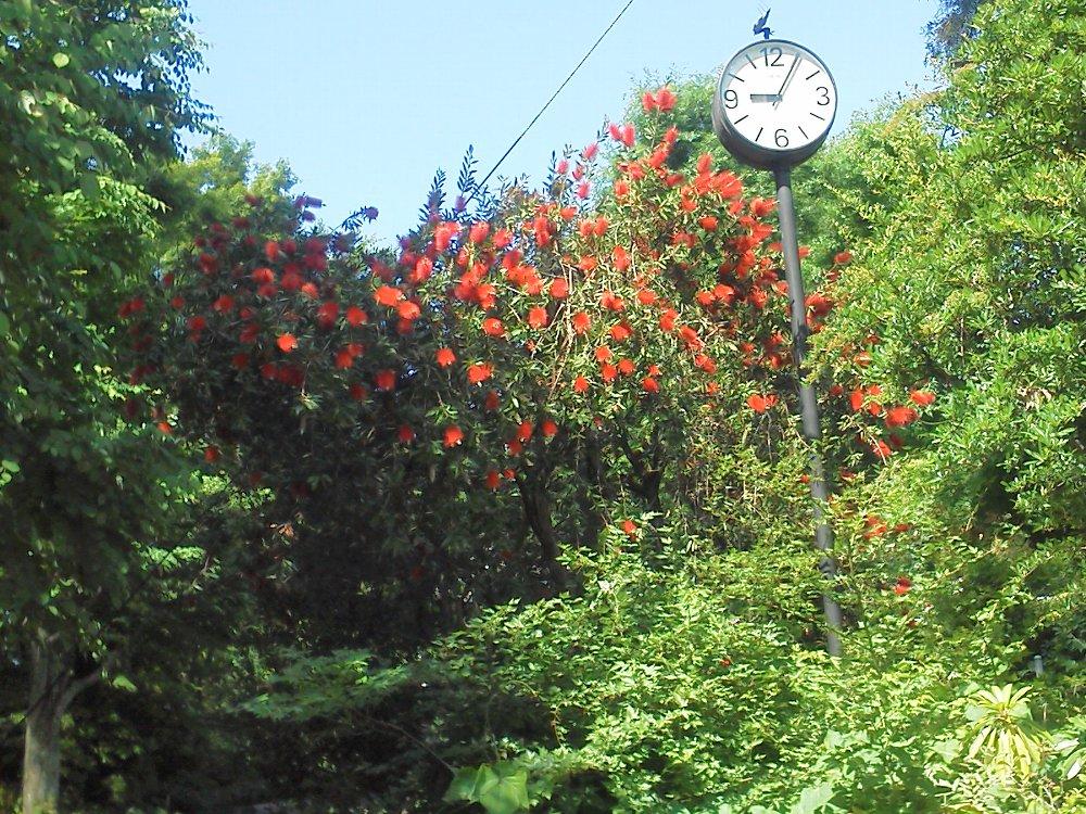 F1000416赤塚植物園5月23日ブラシの木
