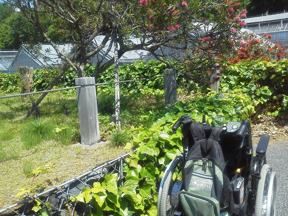 F1000448新宿御苑5月24日ブラシの木車いす
