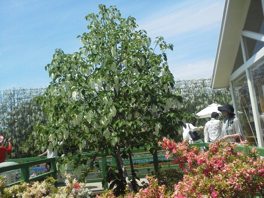 F1000256あしかがフラワーパーク5月5日ハンケチの木
