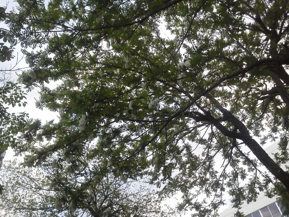 F1000260朝霞中央公園5月6日ハリエンジュ