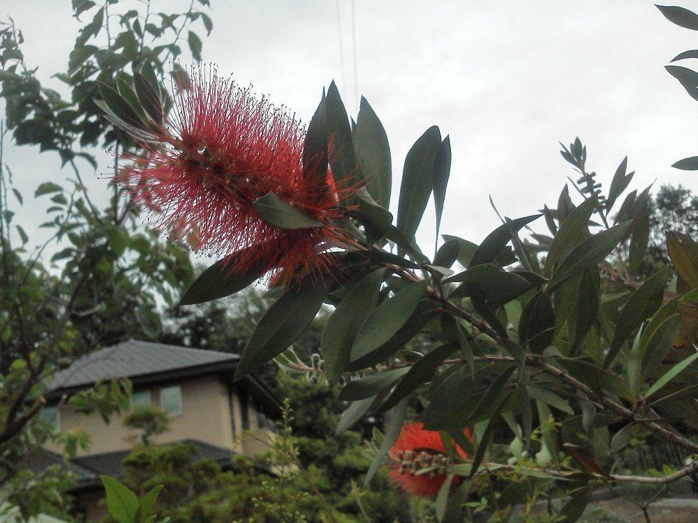 F1000523水子貝塚5月28日付近の民家のブラシの木の花