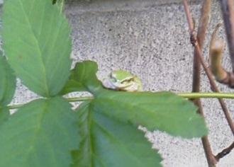 190524庭の蛙