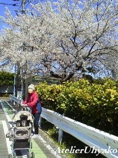 190413桜並木ママとワンコと散歩
