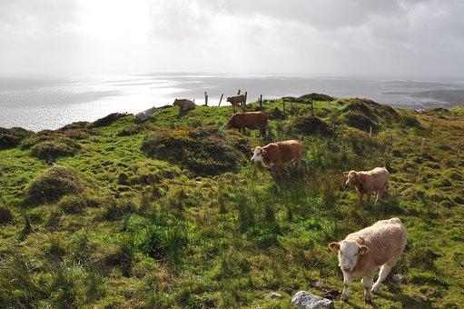 ireland-cows-3636137__340.jpg